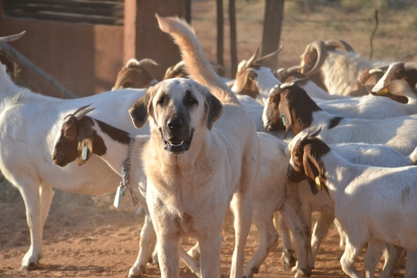 Anatolian Shepherd Dog in Africa