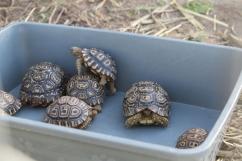 Baby tortoises!