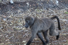 Baboons on the road!