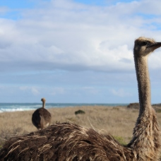 yes, ostriches on a beach.