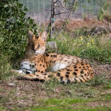one of the servals here