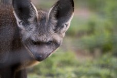 I love these bat eared foxes